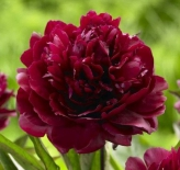 Пионы|Пион молочноцветковый Big Red Boomer Sooner (Биг Ред Бумер Сунер