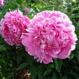 Пион молочноцветковый Gilbert Barthelot (Жильбер Бартело)