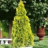 Туя западная Golden Smaragd (Голден Смарагд)