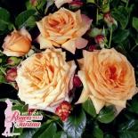 Роза плетистая Barock (Барок)