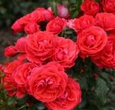 Роза флорибунда Cherry Girl (Черри Герл)