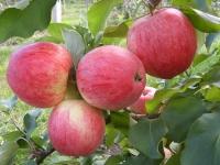 Яблоня сорт Осеннее полосатое