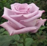 Роза чайно-гибридная Blue Bird (Блу Бёрд)