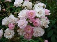 Роза плетистая Guirlande Rose (Гирланд Роз)