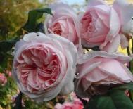 Роза плетистая Nahema (Наэма)