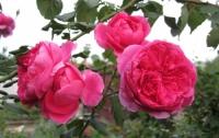 Роза плетистая Parade (Парад)