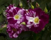 Роза плетистая Purple Splash (Пёрпл Сплаш)