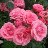 Роза плетистая Ramira (Рамира)