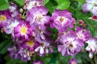 Роза плетистая Veilchenblau (Файлхенблау)