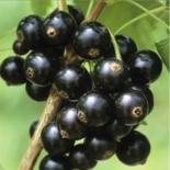Смородина черная сорт Черный Жемчуг