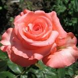 Роза чайно-гибридная Nobilis (Нобилис)