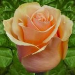 Роза чайно-гибридная Versilia (Версилия)