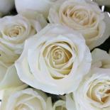 Роза чайно-гибридная Avalanche (Аваланш)