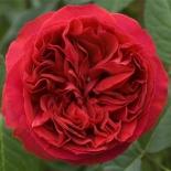 Роза кустовая Red Eden (Ред Эден)
