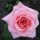 Роза чайно-гибридная Саманта (Samanta)