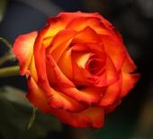 Роза чайно-гибридная Ксюша