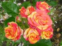 Роза спрей Fire Flash (Файнер Флеш)