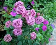 Роза миниатюрная Фиолетовая