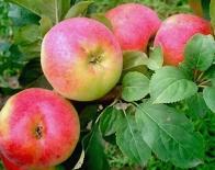 Яблоня|Яблоня сорт Солнцедар