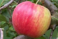 Яблоня сорт Деликатес