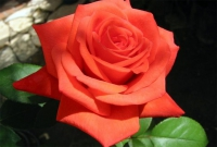 Роза чайно-гибридная Corvette (Корвет)
