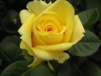 Роза чайно-гибридная Kronos (Кронос)