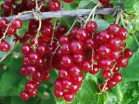 Смородина красная сорт Вексне