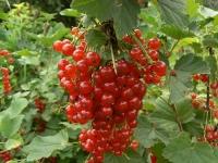 Смородина красная сорт Натали
