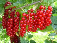 Смородина красная сорт Сахарная