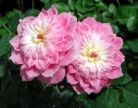 Роза миниатюрная Pink Poodle (Пинк Пудл)