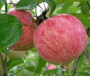 Яблоня сорт Коричное Полосатое