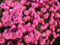 Астра новобельгийская Magic Pink (Мэджик Пинк)