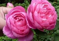 Роза английская Alan Titchmarsh (Алан Титчмарш)