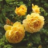 Роза английская Golden Celebration (Голден Селебрейшн)