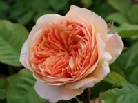 Роза английская Charles Austin (Чарльз Остин )