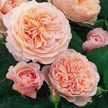 Роза английская William Morris (Уильям Моррис)