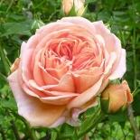 Роза кустовая Alchymist (Алкимист)
