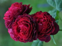 Роза кустовая Astrid Grafin von Hardenberg (Астрид Граффин фон Х
