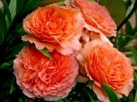 Роза кустовая Belvedere (Бельведер)