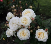 Роза кустовая Manuel Canovas (Мануэль Кановас)