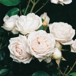 Роза кустовая Martine Guillot (Мартин Гийо)