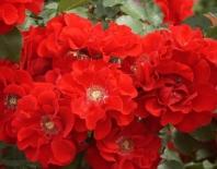 Роза кустовая Roter Korsar (Ротер Корсар)