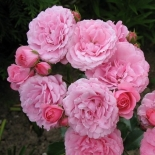 Розы|Роза кустовая Royal Bonica (Роял Боника)