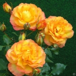 Розы|Роза кустовая Sahara (Сахара)