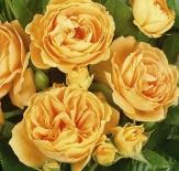Роза флорибунда Bernstein Rose (Бернштайн)