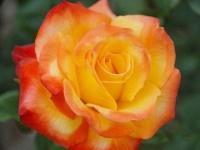 Роза флорибунда Confetti (Конфетти)