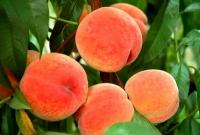 Персик сорт Донской морозоустойчивый