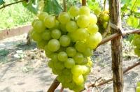 Виноград сорт Спутник