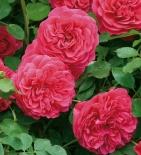 Роза английская  Sir John Betjeman (Сэр Джон Бетджемен)