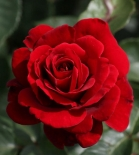 Роза плетистая  Jazz (Джаз)